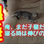 子猫 俺、よく食べてよく寝る!男むぎ!かわいい。むぎふわkitten