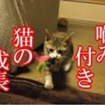 かわいい子猫が突然お家にやってきた-その時、先住猫達は・・・?!7週間目1-kitten came to our house 45
