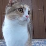 ももちゃんがソファに埋まるやつ【かわいい子猫動画】
