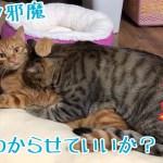 猫が猫から寝床を奪うまでのかわいい一部始終!