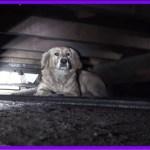 【感動】苦節5日間の末の救出!!廃屋の小さな隙間に身を隠し怯えていた犬は、本当は人が大好きな犬だった…【世界が感動!涙と感動エピソード】