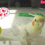 足並み揃う2匹のインコが可愛い!セキセイインコ・オカメインコ Two parakeet's footsteps are cute.