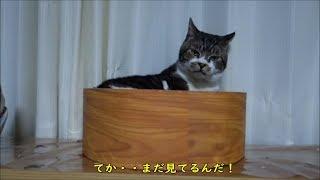 グルーミング中にちょこちょこ固まる猫が可愛い♥リキちゃんのナメナメタイム【リキちゃんねる 猫動画】Cat video キジトラ猫との暮らし