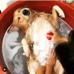 「絶対笑う」最高におもしろ犬,猫,動物のハプニング, 失敗画像集 #420