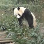 【お隣さんもビックリ!?】🐼健在!陽浜姉さんのハッスルタイムw🌞✨【小暴れパンダw】Giant Panda -Youhin-☆Hustle