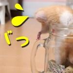 【ハムスター】あほかわいい!瓶から出れないハプニング!おもしろ可愛い癒しHamster that can not get out of the bottle is too cute!