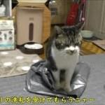 ビニール袋を見せる度、後ろ足でケリケリする猫が可愛い♥リキちゃん独特の面白い癖【リキちゃんねる 猫動画】Cat video キジトラ猫との暮らし