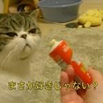 これほんとちゅ〜る?【猫】【かわいい】