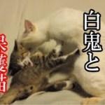 かわいい子猫が突然お家にやってきた-その時、先住猫達は・・・?!9週間目2-kitten came to our house 60