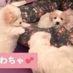 3匹で仲良く使おうね😚 かわいい子犬たちのベッドをめぐる戦い💥 【PECO TV】