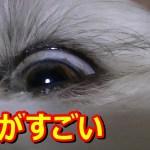 シーズー 目ヤニのクセがすごい!(笑)