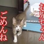 かわいい子猫が突然お家にやってきた-その時、先住猫達は・・・?!11週間目3-kitten came to our house 75