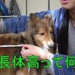 【可愛いシェルティ】犬の体長体高とは?
