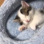 眠たいときの子猫の鳴き声がかわいい