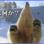 ガラス前で面白い行動のリラ ダイブの踏み切り間違えた? Polar Bears