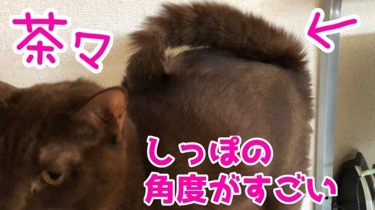 茶々のしっぽの角度が凄い件×柴犬ミクとぬいぐるみで遊んでる動画。