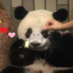💕 シャンシャンパンダかわいい570日齢  💕 相変わらず可愛いシャン子💕上野動物園 💕