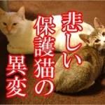 かわいい子猫が突然お家にやってきた-その時、先住猫達は・・・?!10週間目4-kitten came to our house 69