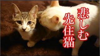 かわいい子猫が突然お家にやってきた-その時、先住猫達は・・・?!12週間目2-kitten came to our house 81