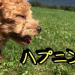 こたつ乗る犬にハプニング【トイプードルのEnen君♪】