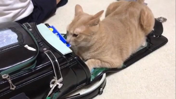 ランドセルで何かを探している猫がおもしろい