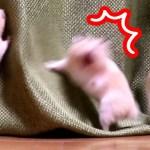 【おもしろ動物】驚きすぎたハムスター!その後の可愛すぎる行動とは?可愛い癒し動物Hamster was surprised when his name was called!