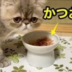 子猫にかつお節を与えてみた!【猫】【かわいい】【エキゾチックショートヘア】