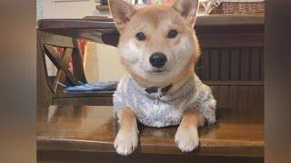 【柴犬】可愛い声出しながら撫でてアピールをする
