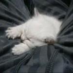 ちっちゃくて短くてかわいい白チビ子猫ちゃんのおてて^^Kitten sleeping on my leg【いなか猫1889】japanese funny cat