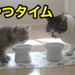 すっかり仲良し!向かい合っておやつを食べる猫たち【子猫】【かわいい】【エキゾチックショートヘア】