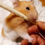 【おもしろ動物】ハムスターがおやつを奪い取るすごい方法とは…?可愛い癒しHow a hamster  robs a snack