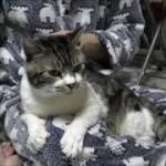 パパの膝の上でまったり♥なでなでしてもらうのが大好きな甘えん坊猫リキちゃん☆可愛い抱っこ姿【リキちゃんねる 猫動画】Cat video キジトラ猫との暮らし
