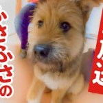 【生放送】子犬のポテのさわりまくろう!フサフサタイム!【後半かわいいです!】
