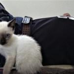 飼い主の腕に噛みつくシャム子猫(シャムエ🐈)が面白可愛い 【2017年未公開映像】