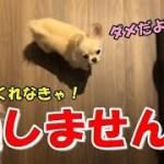 🔴遊んでくれるまで通してくれない子犬チワワ【可愛い】【dog】【puppy】