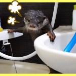 カワウソ ビンゴに水遊びをさせようとした飼い主をハプニングが襲う!(Otter Bingo get over excited in the water)