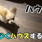 🔴仕方なくハウスする子犬チワワ【子犬】【可愛い】【チワワ】【dog】【puppy】