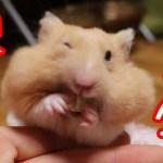 【おもしろ動物】苦しみながらも詰め込む欲張りなハムスターほど可愛いものはない。可愛い癒しGreedy hamster is too cute!