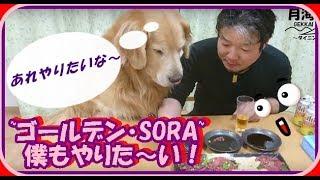 かわいい大型犬  ゴールデンレトリバー パパの真似がしたい Golden Retriever