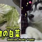 大好物の白菜を食べるハスキー犬がかわいい Husky Puppy