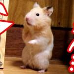 ハムスターの調子悪い日は分かりやすく転びまくる。可愛い癒しおもしろ動物The way a hamster falls is so cute.
