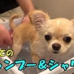 🔴初めてのシャンプー&シャワーをする子犬チワワ【みるく】【可愛い】【dog】【puppy】