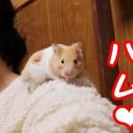 ハムスターは懐くと飼い主の上を走り回るんです!可愛い癒しおもしろ動物When the hamster becomes friendly run around on me!