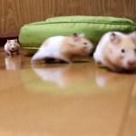 名前を呼ぶとダッシュで駆けつけるハムスター43連発!可愛い癒しおもしろ動物Hamster runs up to me when I call his name.