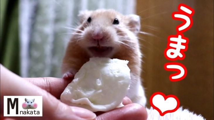 ハムスターがご機嫌になる食べもの!それは…?AMSR可愛い癒しおもしろ動物Food that makes your hamster happy!