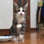 水を飲むのがヘタな子猫がかわいい