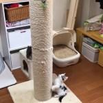 爪とぎの昇り降りがおもしろかわいい子猫