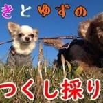 トイプードル つくし採りを手伝う愛犬がかわいい【toy poodle】
