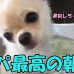 🔴パパにとって最高の朝を子犬チワワと迎える!【みるく】【可愛い】【dog】【puppy】