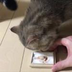 猫たちに赤ちゃんのへその緒を見せてみた!【猫】【かわいい】【エキゾチックショートヘア】